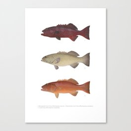 Barrier Reef Coral Trout Collection Canvas Print