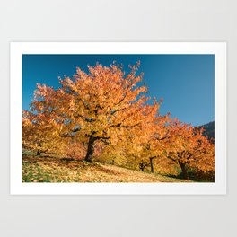 Colorful cherry tree plantage in autumn. Switzerland Art Print