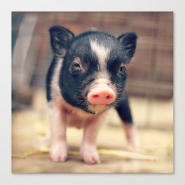 Piebald Pig puppy for Pig Lovers                                        Canvas Print