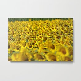 Sunflowers & Sunflower fields of Tuscany, Italy Metal Print