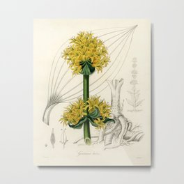 Bitter root (Gentiana lutea)  from Medical Botany (1836) by John Stephenson and James Morss Churchil Metal Print