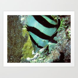 Banded Butterflyfish Art Print