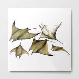 Chilean devil manta ray (Mobula tarapacana) Metal Print