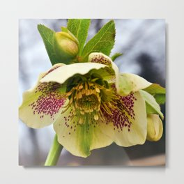 Christrose Metal Print