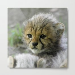Cheetah20150908 Metal Print