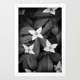Evergreen Dogwood Art Print