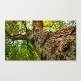Old Growth Tree Canvas Print