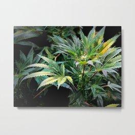 Marijuana Stand Out Metal Print