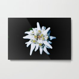Single isolated Edelweiss flower bloom Metal Print