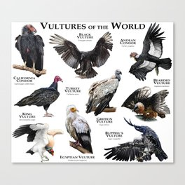 Vultures of the World Canvas Print