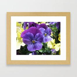 Purple Violas Framed Art Print