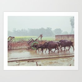 Buffalos Marching in Rural Uttar Pradesh, India Art Print