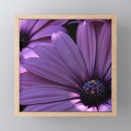 Osteospermum Framed Mini Art Print