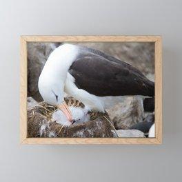 Albatross with a chick Framed Mini Art Print