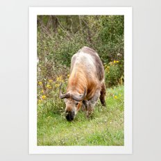 The Endangered Takin Art Print
