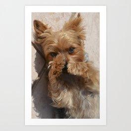 Put Em' Up - The Yorkie Dog Art Print