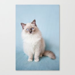Blue eyed Ragdoll kitty sitting Canvas Print