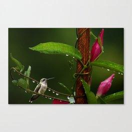 Hummingbird on Mandevilla Vine Canvas Print