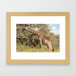 African Giraffe Snacking - Serengeti Tanzania 5068 Framed Art Print
