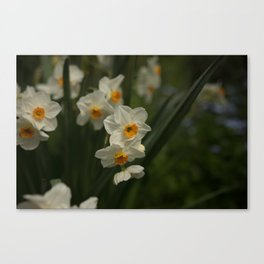Narcissus flower Canvas Print