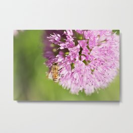 Honeybee on Allium - Onion Flower Metal Print