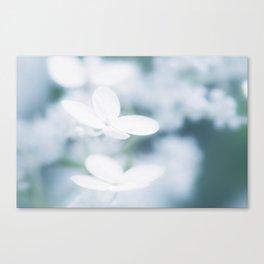 Beautiful white hydrangea blossoms. Canvas Print