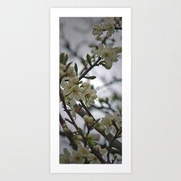 Prunus Domestica Art Print