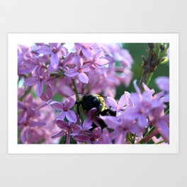 Busy Bee in Lilac Art Photography Art Print