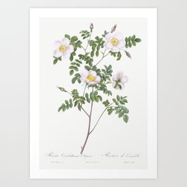 Twin-Flowered White Rose also known as Rosebush with Geminate Flowers (Rosa geminata) from Les Roses Art Print
