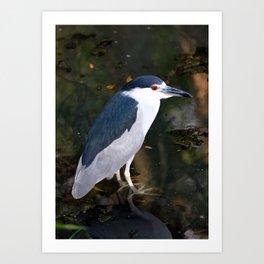 Black Crowned Night Heron Art Print