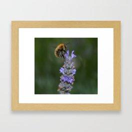 Bee on Lavendar Framed Art Print