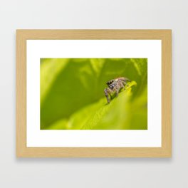 A Jumping Spider (Salticidae) hunts in the foliage of the garden Framed Art Print