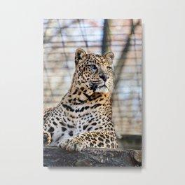 Living Treasures Animal Park - Leopard Metal Print