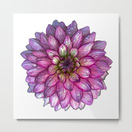 Dahlia Purple & White with water droplets Metal Print
