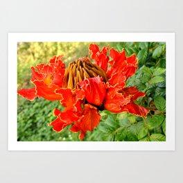 The African Tulip Tree Art Print