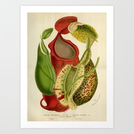 Nepenthes 1845 Art Print