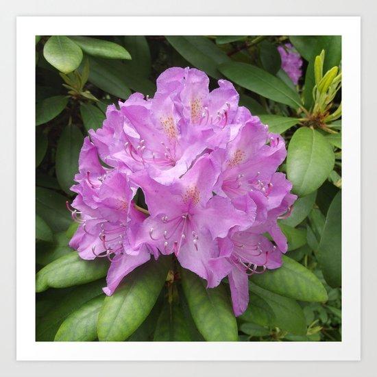 rhododendron bloom II Art Print