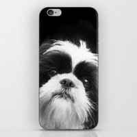 shih tzu iPhone & iPod Skins featuring Shih Tzu Dog by ritmo boxer designs