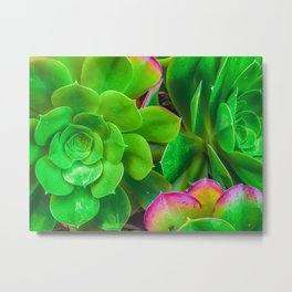 closeup green and pink succulent plant garden Metal Print