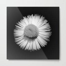 Fleabane B and W Metal Print