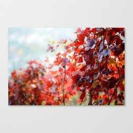 Detail view of colorful vineyard in fall Canvas Print