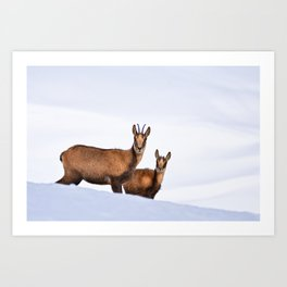 Chamois in the snow Art Print