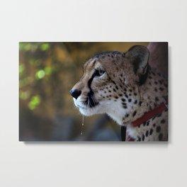 Amara the Cheetah Metal Print
