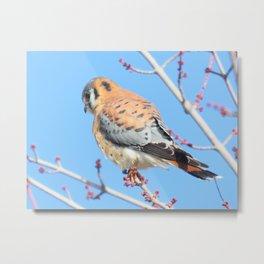 American Kestrel (Sparrowhawk) 13 Metal Print