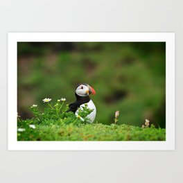 Puffin from Ireland  (RR 238) Art Print