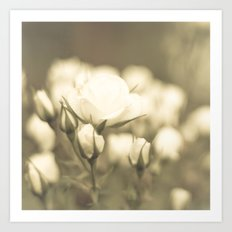 Peaceful White Roses (vintage flower photography) Art Print