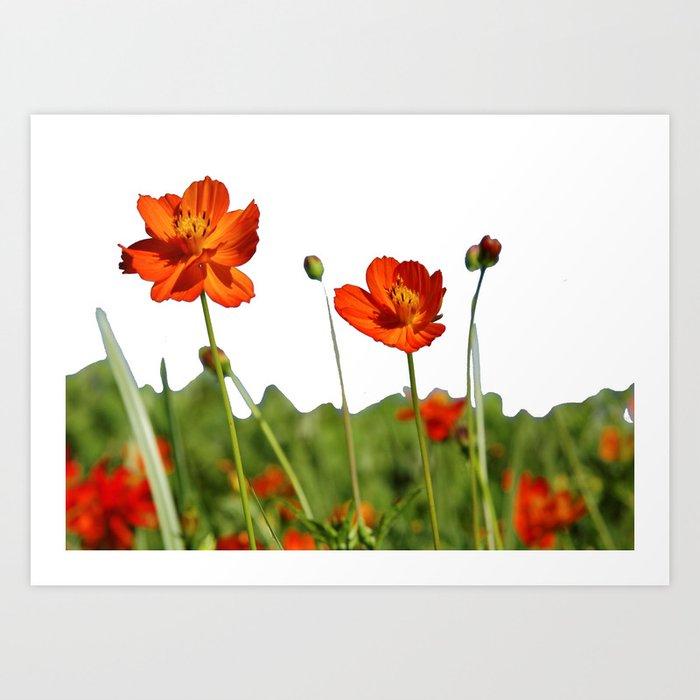 Cosmos Flower Near Me Best Flower Wallpaper