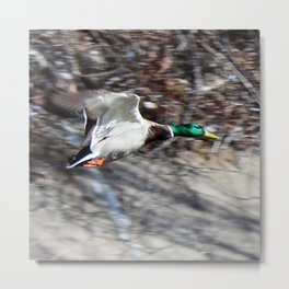 Colorado Mallard in Flight Metal Print
