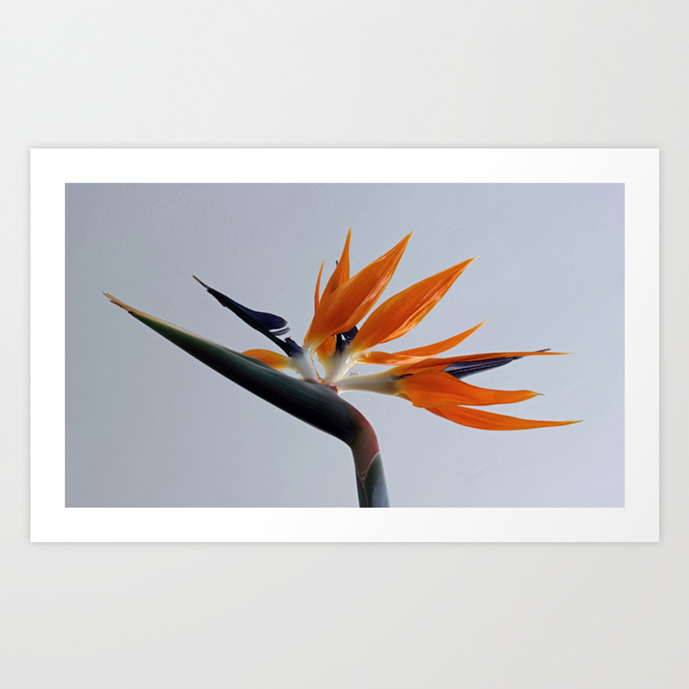 The Bird Of Paradise Flower Art Print by Avrilharris PRN2003212
