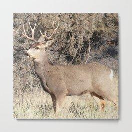 Watercolor Deer, Mule 12, Crestone, Colorado, Statuesque Metal Print